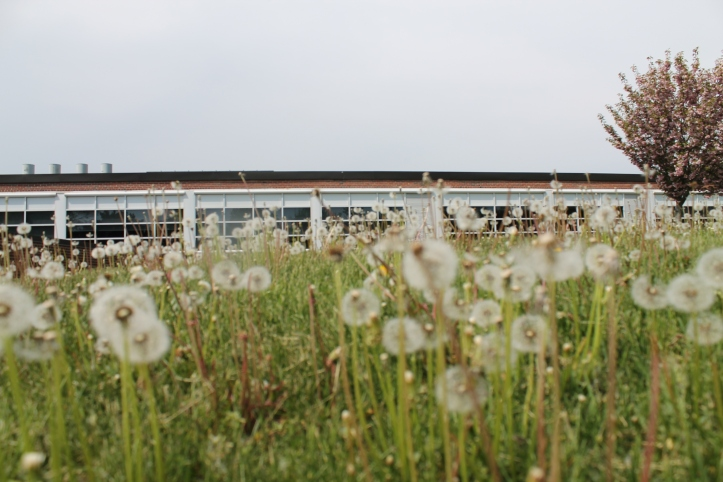 Birmingham Public School's pesticide policy protects dandelions, like the ones pictured.  PHOTO / CAROLINE SQUATRITO